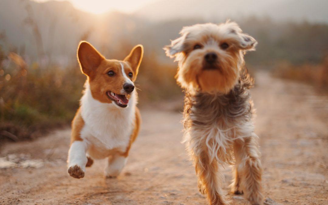 Demodicoza canină