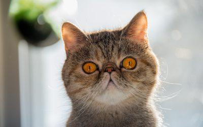 Endoparazitozele pisicilor