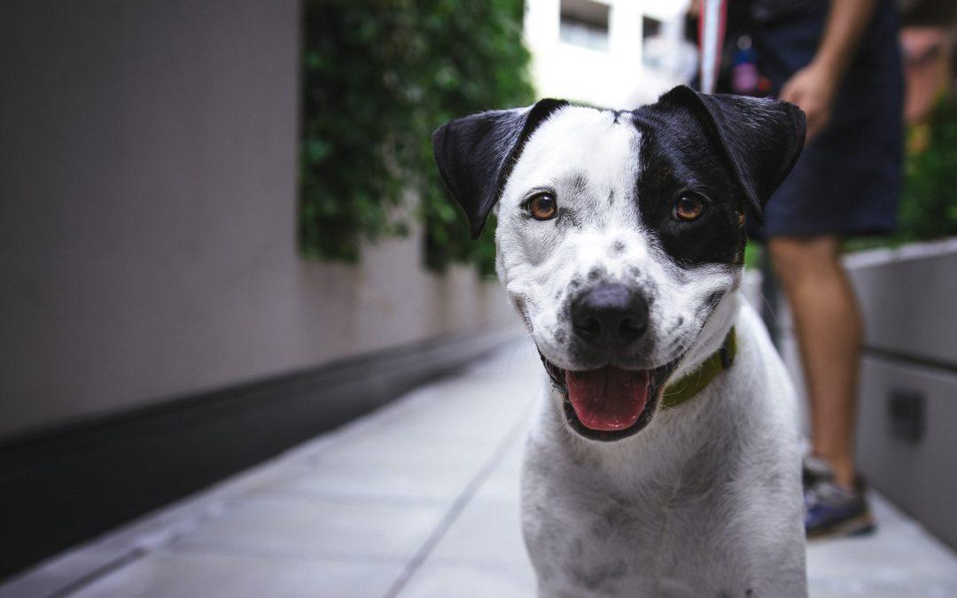 Ehrlichioza canină