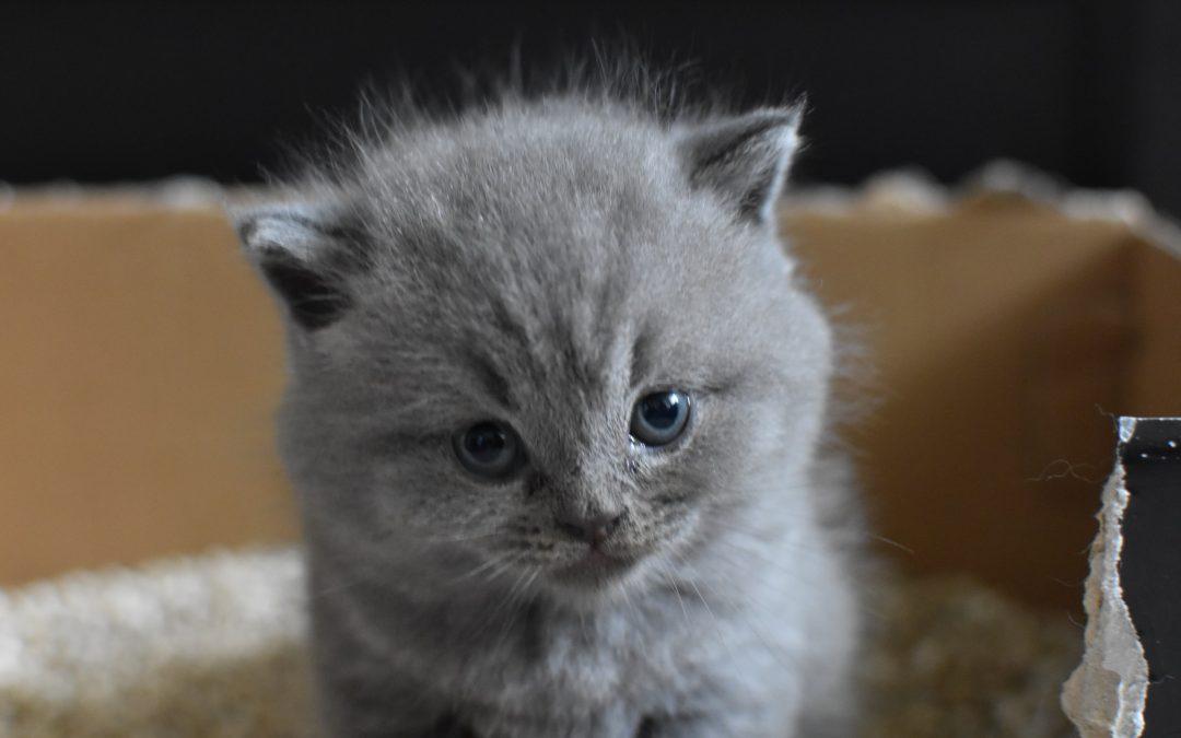 Osteocondrodisplazia specifică pisicilor din rasa Scottish Fold